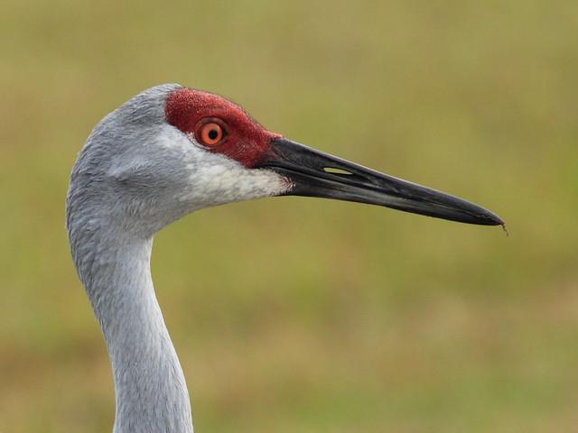Sandhill Crane head 20120205