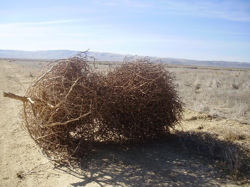 Tumbleweed near Soda Lake