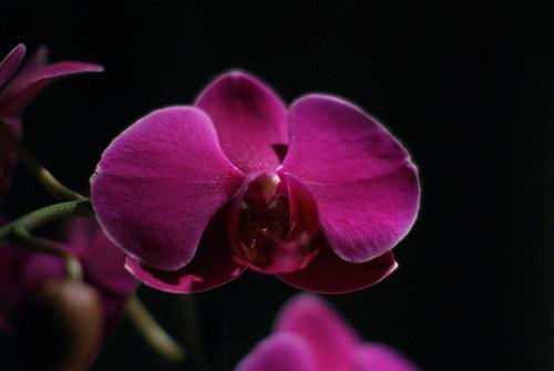 Orchid by susanvg