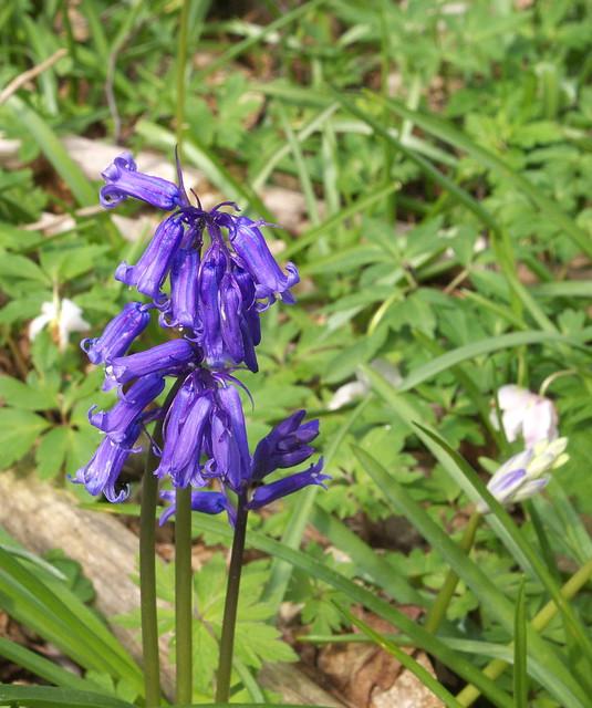 DSC_8289 bluebells