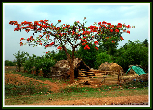 summer india flower grass painting cottage may agriculture karnataka aldur malenadu chikamagalur kadur mudigere