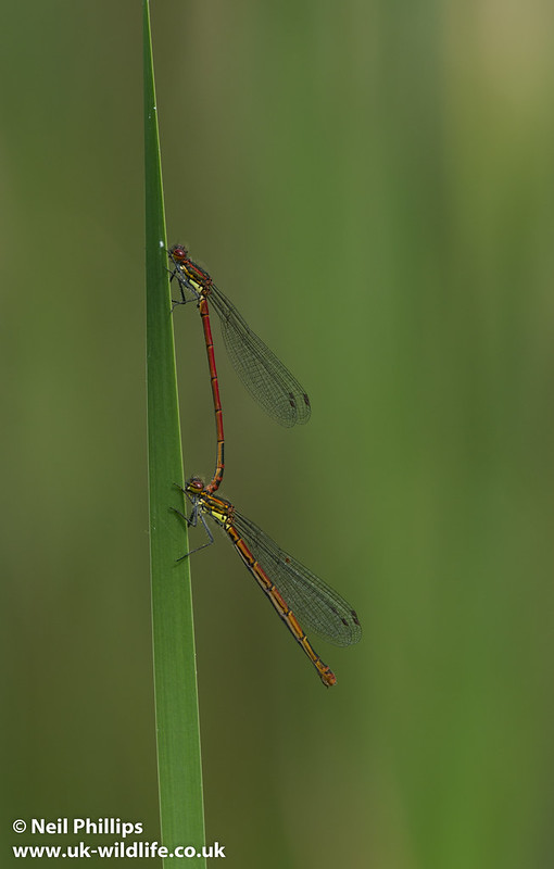 large red damselfly tandem pair on reed