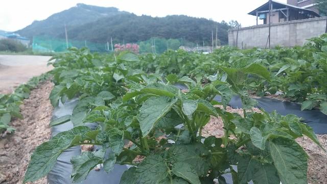 마당밭 풍경 | 감자