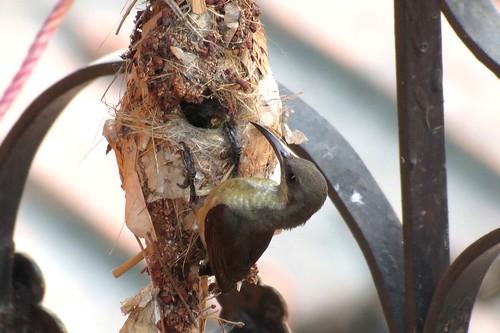 মৌটুসি পাখির গাছের বদলে ঘরের গ্রিলে বাসা