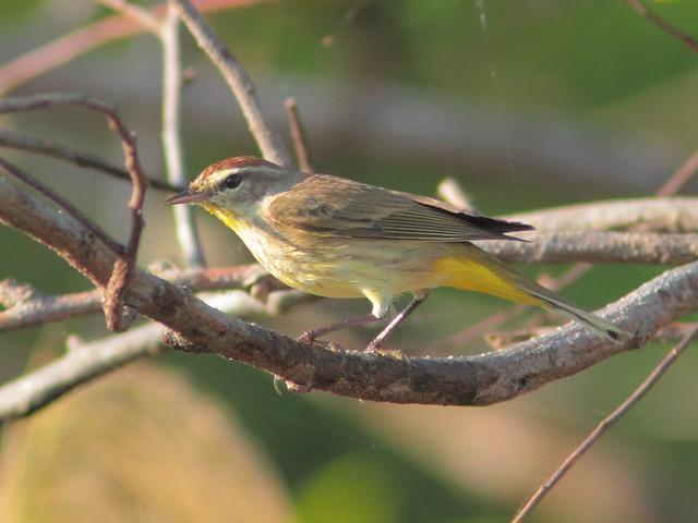 Palm Warbler 3-20120224