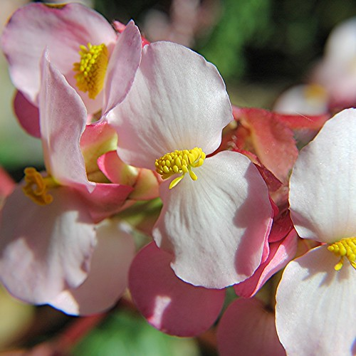 Delicate Pink Begonia petals and golden pollen clusters by jungle mama