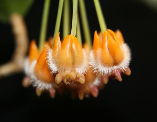 Hoya preatorii flowers