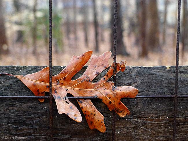 fence leaf 2