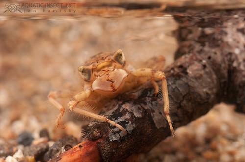 Spike-tail Dragonfly larva - Cordulegastridae