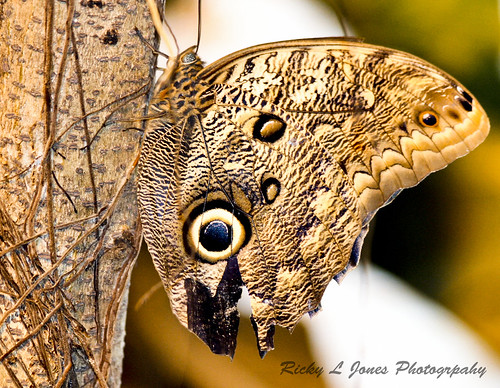 Beautiful Butterfly  by Ricky L. Jones Photography
