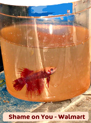 The genetics of betta fish tail types my aquarium club for Whiting fish at walmart
