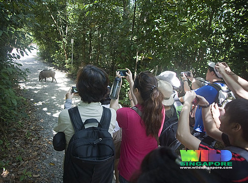 Spotting wild board during the Chek Jawa boardwalk tour with the Naked Hermit Crabs