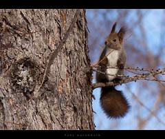Hokkaido Red Squirrel - Ezo Risu