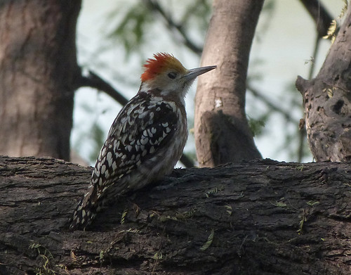 Yellow-crowned Woodpecker - Bharatpur 3