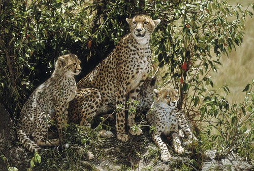 "'Cheetah Mother and Cubs' oil on board 20¾"" x 30½"""