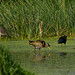 Bronze-Winged Jacana and Friends