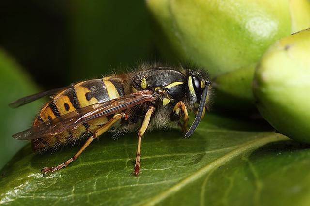 Queen Hornet Insect