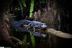 Grump Alligator on Log at Loop Road Everglades Florida