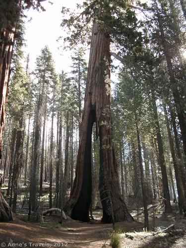 Clothespin Tree, Mariposa Grove, Yosemite National Park, California