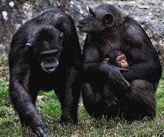 [フリー画像素材] 動物 1, 猿・サル, チンパンジー, 動物 - 親子 ID:201203201000