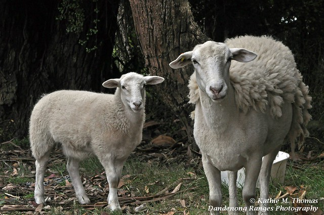 Molly and Bella, our sheep