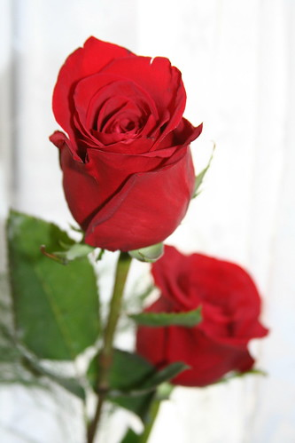 6855765309 4023f25e8c Celebrate Valentines Day with Symbol of Love   The RED ROSES