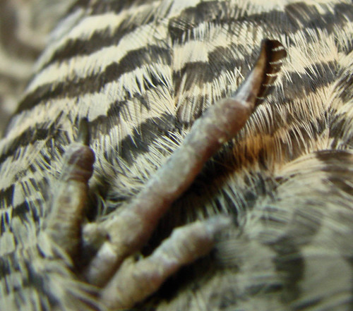 Pectinated claw of Common Nighthawk