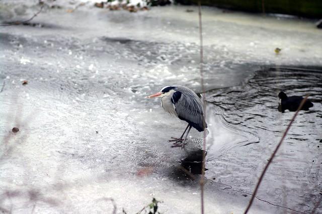 herron on ice