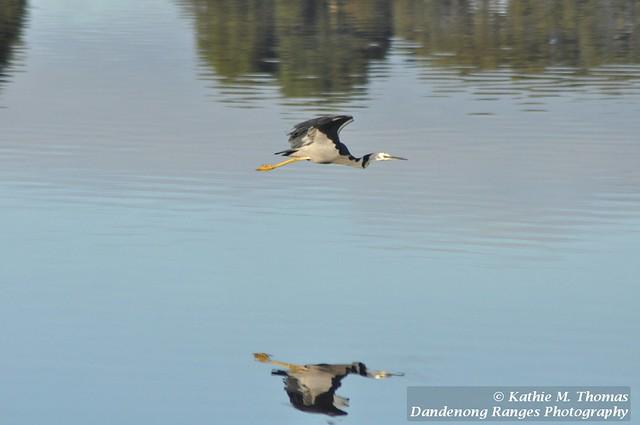 White-faced heron flying