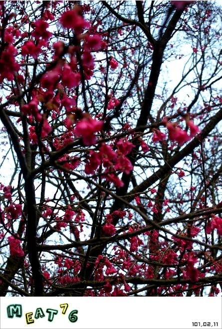 【遊記】陽明山國家公園|櫻花乍現在粉紅意境的花花世界22