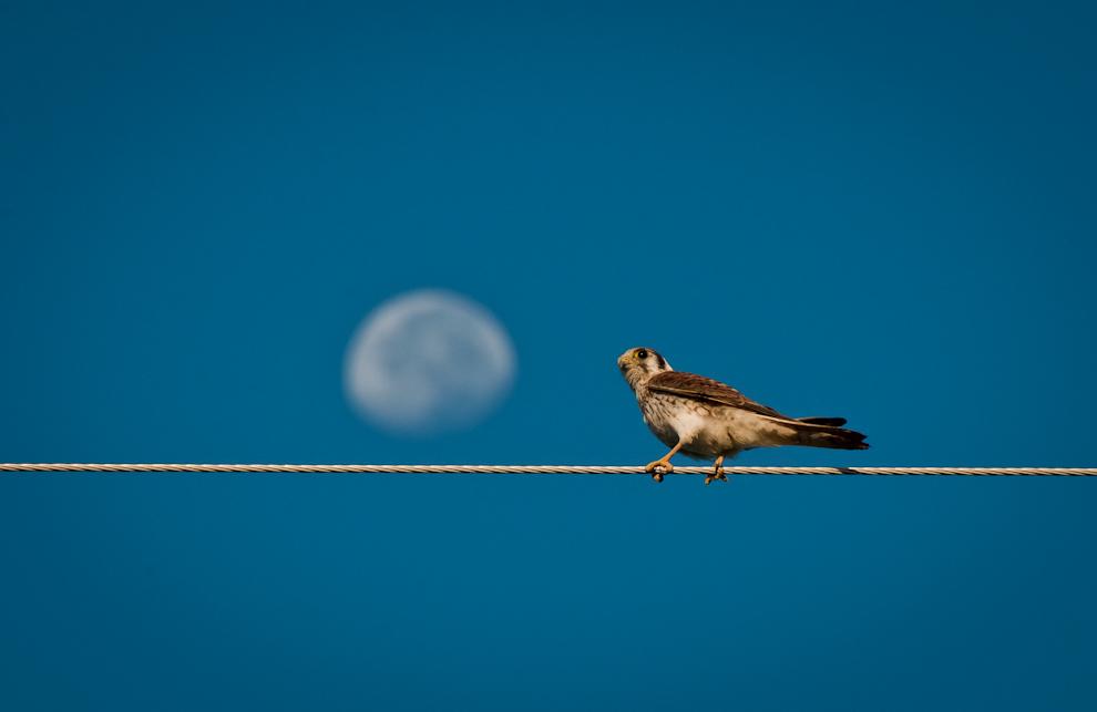 Un Halconcito colorado (Falco Sparverius) se posa en el cable eléctrico, curioso por nuestra visita, no opta por volar a salvo, sino que nos permite obtener unas tomas fotográficas luciéndose con la luna de fondo. Es un ave muy utilizada en la cetrería, no anda en grupos, cuando emigra generalmente viaja solo o en pareja. Es el más pequeño de todas las especies de halcones, la hembra es más grande que el macho. (Elton Núñez)