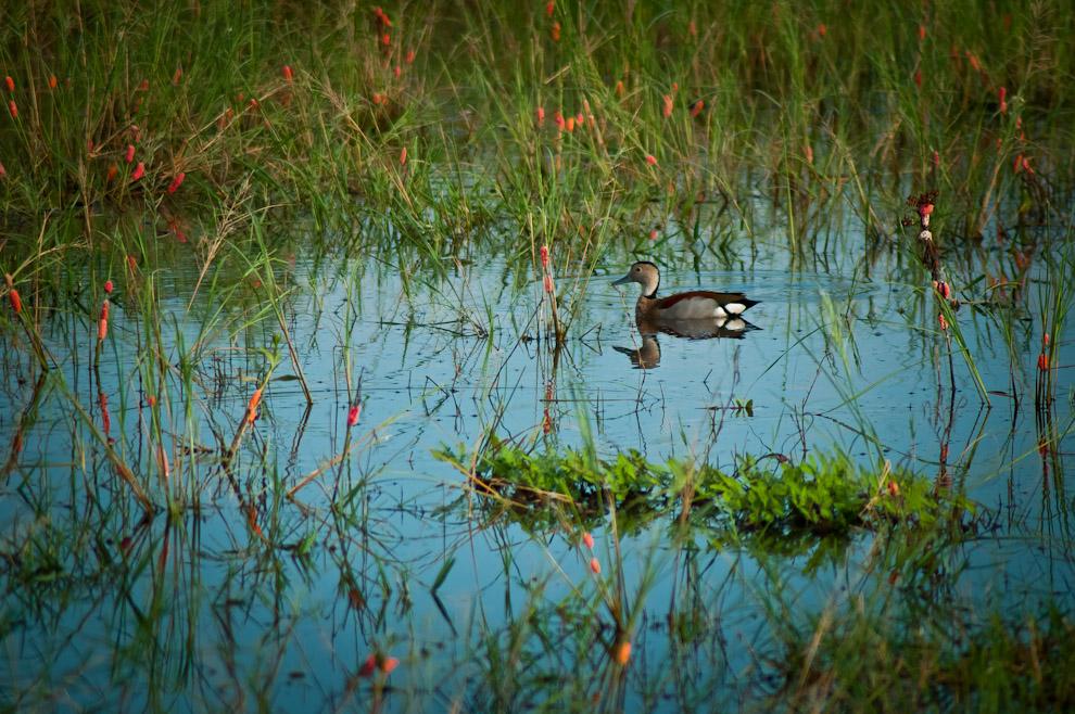 Un Patito arroz (Callonetta leucophrys) nada en un esteral alimentándose de lo que encuentra bajo el agua. Esta especie de pato anida en huecos de árboles o en nidos de palitos construidos por otras aves. Tiene el pico celeste y las patas rosadas. Es el pato de menor tamaño en el Paraguay y el más abundante en el Chaco Central, es uno de los típicos patos que solemos ver volando en formación V cuando emigran. (Elton Núñez)