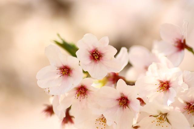 Sakura 34 2011