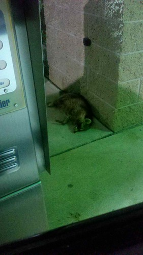 Raccoon at the car wash.
