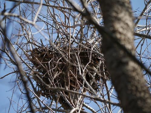 Possibly Nesting Cooper's Hawks - Nest