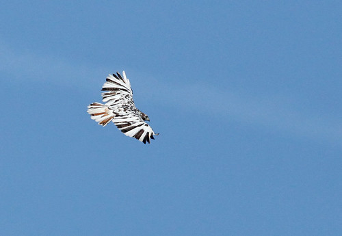 Red-tailed Hawk - Leucistic Plumage? by JKissnHug