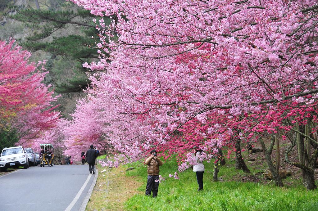 2012 武陵 櫻花