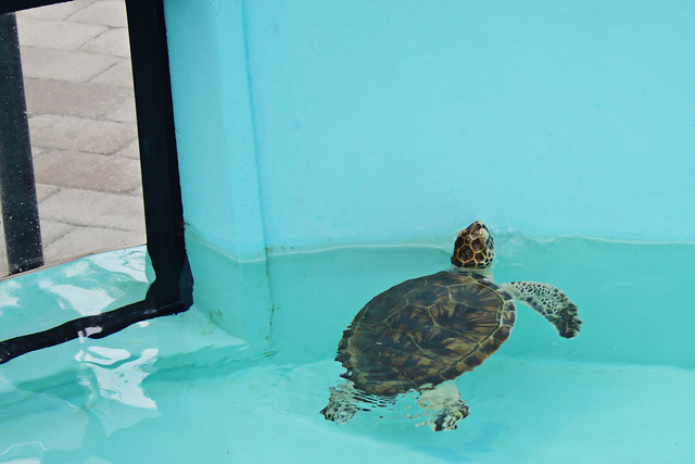 Loggerhead marine life center 12