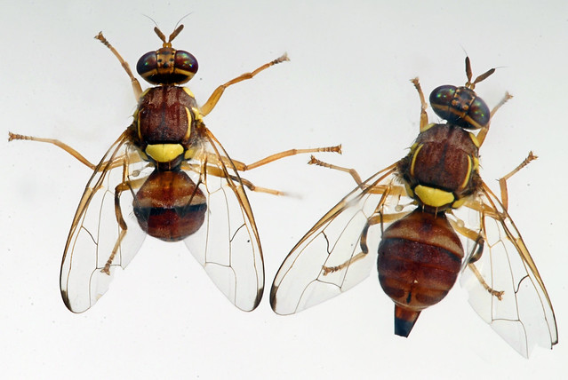 studying the peach fruit fly bactrocera zonata Oriental fruit fly is a major threat to fruit in pakistan the oriental fruit fly (bactrocera zonata) attacks fruits including guava, persimmon, peach and apple a study was carried out to evaluate different control methods and their.