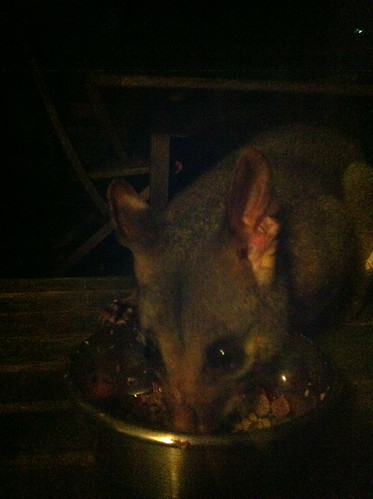 Possum eating the cats' food