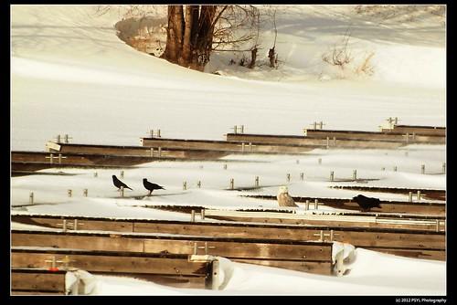 Snowy Owl versus Crows