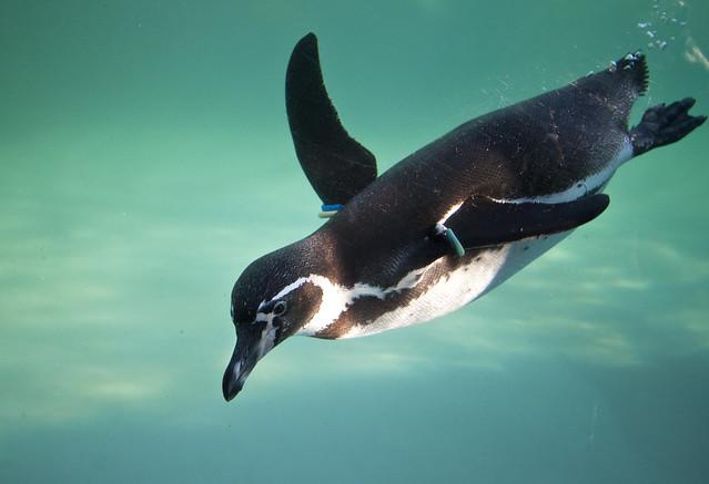 Swimming Penguin Flickr Photo Sharing