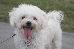 dandie dinmont terrier(0.0), toy poodle(1.0), miniature poodle(1.0), bichon frisã©(1.0), dog breed(1.0), animal(1.0), dog(1.0), cavachon(1.0), schnoodle(1.0), pet(1.0), lagotto romagnolo(1.0), coton de tulear(1.0), lã¶wchen(1.0), bolonka(1.0), poodle crossbreed(1.0), havanese(1.0), bichon(1.0), cockapoo(1.0), maltese(1.0), bolognese(1.0), carnivoran(1.0),