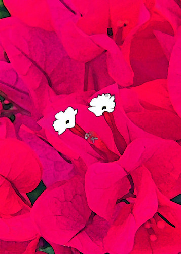 Hot pink bougainvillea