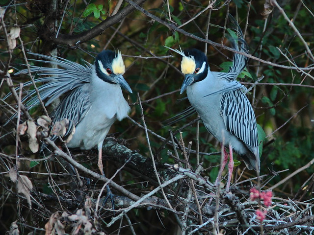 Yellow-crowned Night Heron pair displaying 91-20120304