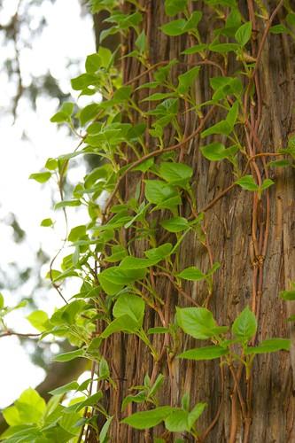 climbing hydrangea  1480