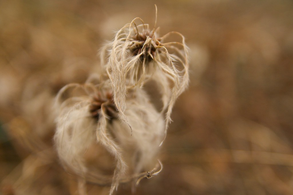 clematis seedhead  1268