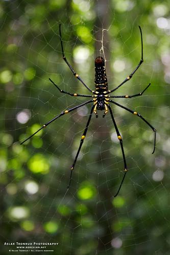 Itsy Bitsy Spider by aslakt