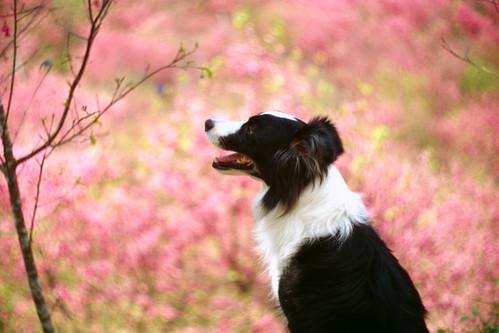 [フリー画像素材] 動物 1, 犬・イヌ, ボーダー・コリー ID:201203181000
