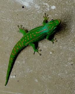 Day gecko .Ixa